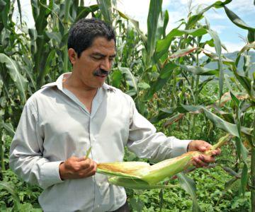 Incentivos Productivos, maíz, frijol y café crecimiento seguro