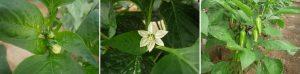 Fig. 2 – Botones florales, flor y frutos inmaduros