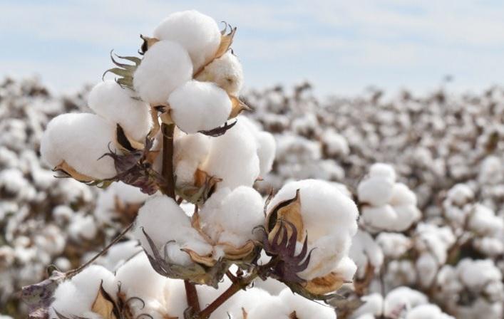 arranca la temporada de siembra de algodón en méxico revista