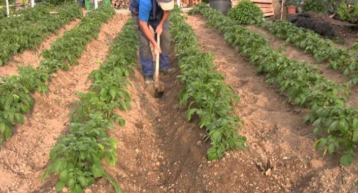 Preparaci n del suelo en el cultivo de papa revista for Que son cultivos asociados