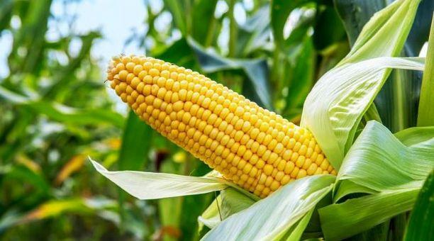 La defensa del maíz en Oaxaca